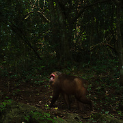 The stump-tailed macaque (Macaca arctoides), also called the bear macaque, is a species of macaque found in Thailand.