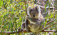Koala (Phascolarctos cinereus) resting in a eucalyptus tree in the wild, Victoria, Australia