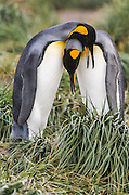 Two King Penguins (Aptenodytes patagonicus) performing their courtship display on Tussock grass, Salisbury Plain, South Georgia, South Atlantic Ocean