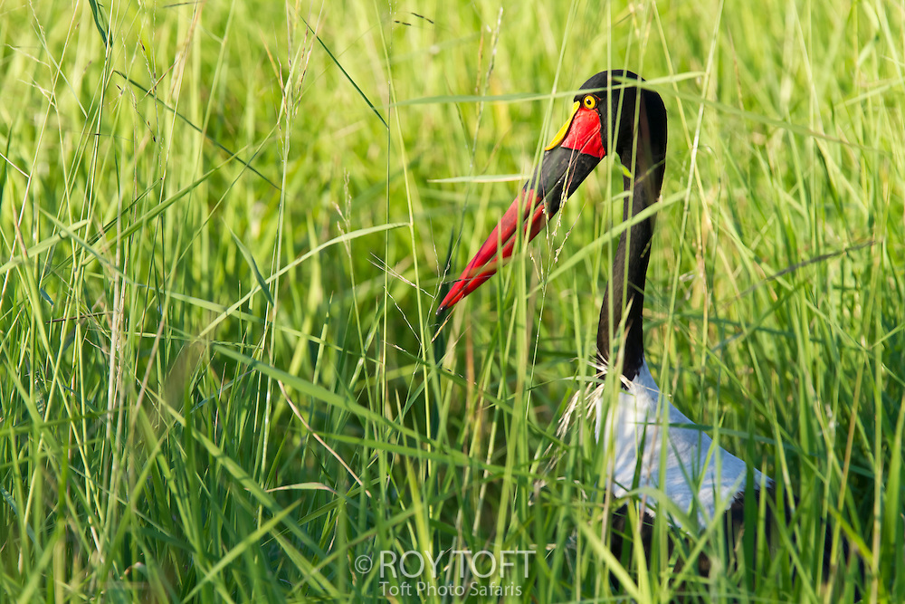 Close-up of a saddle-billed stork resting in the tall grass, Zambia, Africa