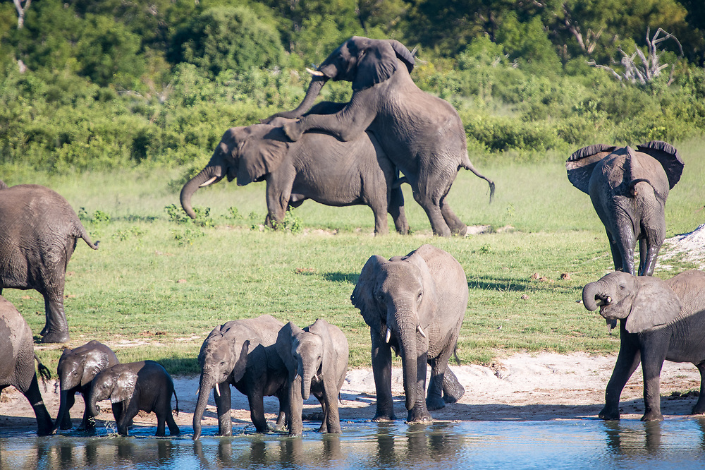 Two elephants copulate near water hole. Hwange National Park, Zimbabwe