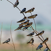 Tree branches full of Pacific Swallows, Hirundo tahitica javanica