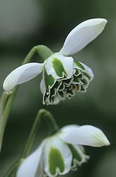 Galanthus 'Jacquenetta' - snowdrop