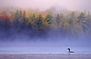 Common loon swims by on a foggy morning in the fall - Quebec, Canada.