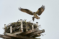 Adult Osprey (Pandion haliaetus) returns to nest on artificial nesting perch carrying seaweed, Petite Riviere, Nova Scotia, Canada
