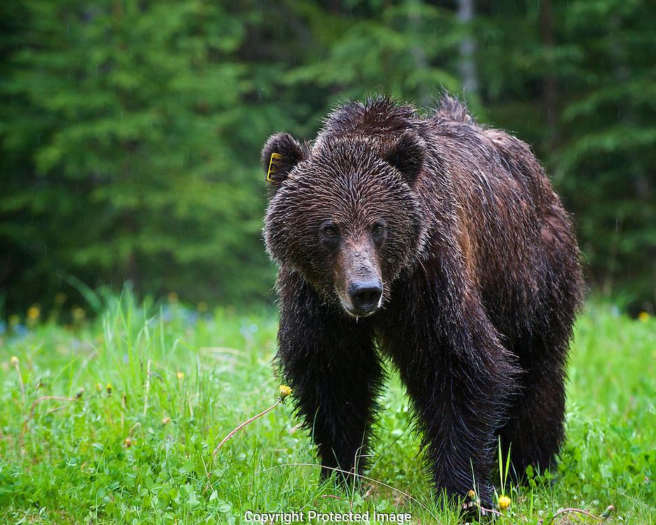 Grizzly Bear. (Ursus arctos), British Columbia, canada,