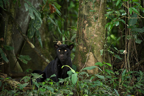 Black Panther Or Black Jaguar (Panthera Onca) WILD, NON BAITED.u003c