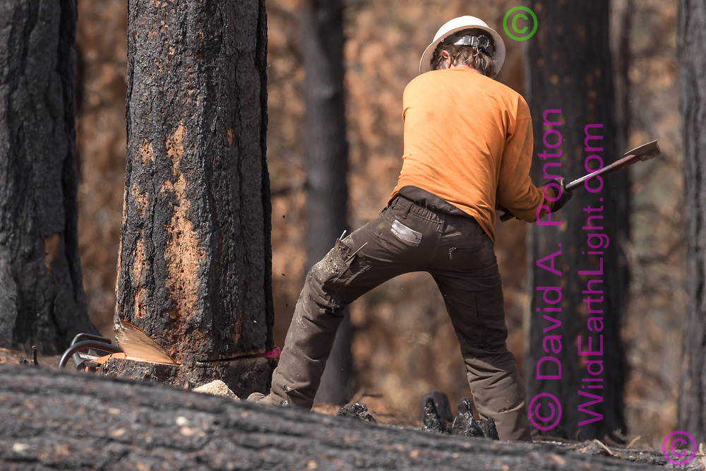 Tree feller drives a wedge into the main saw cut he has made in a ponderosa pine tree, tipping it in the fall direction. Cajete Fire timber salvage, Santa Fe National Forest. © 2018 David A. Ponton