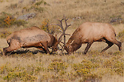 Stock Photo of bull elk in Rocky Mountain National Park.  During the fall, bull elk will gather breeding harems.  They expend a lot of energy protecting these harems from rival bulls.