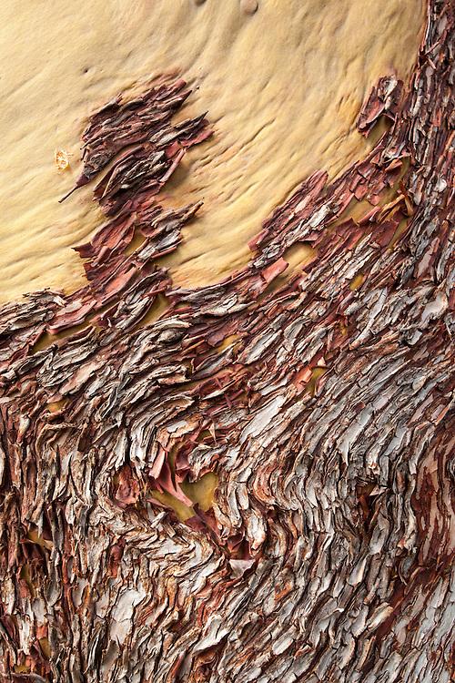 Canada, British Columbia, San Juan Islands, Detail of red bark of Madrona tree along Echo Bay on Sucia Island