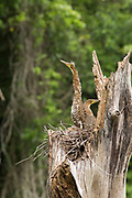 Two young Tiger Herons (Tigrisoma mexicanum) try to blend into the dead tree that houses their nest, the Raspacullo river, Belize.