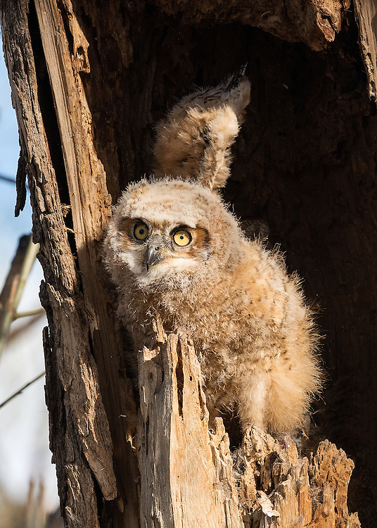 Great Horned Owlet, Twin Lakes, Boulder, Colorado