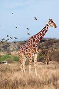 Kenya, Samburu National Reserve, Kenya, Reticulated Giraffe, Giraffa camelopardalis reticulata, August 08