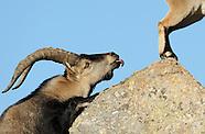Iberian ibex, Spain