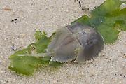 Cast shell of juvenile horseshoe crab, Limulus polyphemus, NJ, Delaware Bay