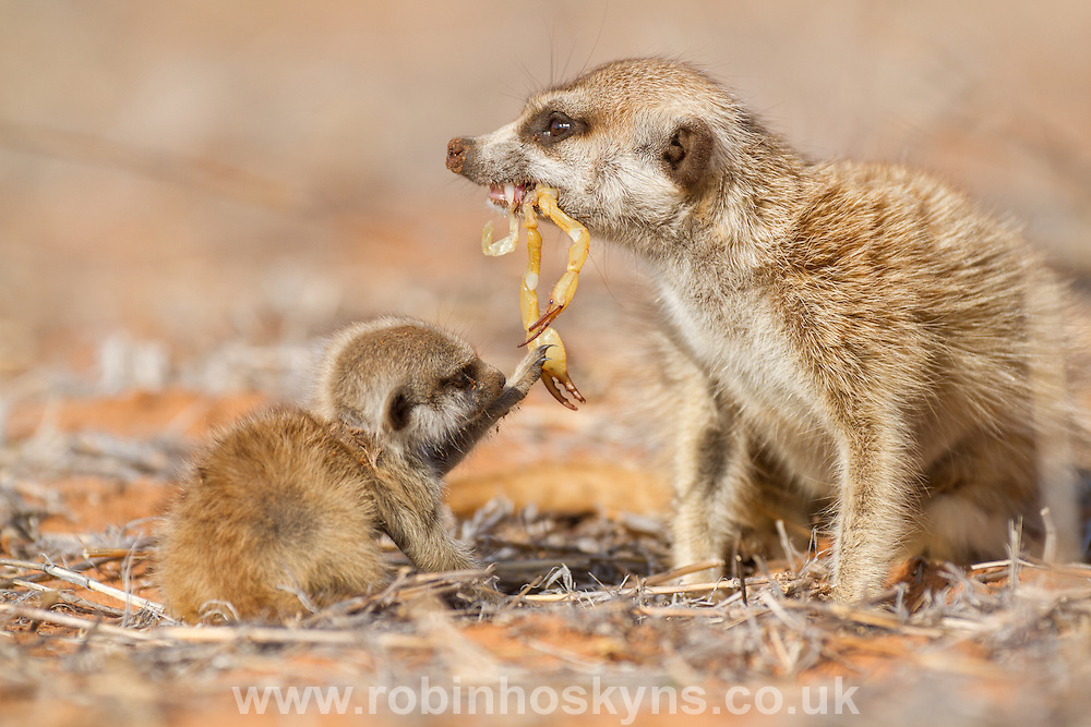An adult meerkat feeding a dead scorpion to a young meerkat pup.
