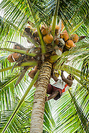 Raja Ampat, West Papua, Indonesia, December 2016. Kayak guide Ayub climbs up a palm tree to harvest coconuts for a welcome rehydration. Yenanas Paradise home stay on the island of Gam. Thousands of small islands fringed by coral reefs and blue water mangroves litter the Raja Ampat archipelago. The turquoise and blue waters are teeming with marine life that forms the livelihood for the local Papuan population. Kayak4conservation is the Raja Ampat Research & Conservation Centre (RARCC) project that supports the locals to develop a community based, sustainable tourism project, inviting visitors to explore their islands by sea kayak with a local guide and experience the culture by staying amongst the local people in traditional style homestays. Photo by Frits Meyst / MeystPhoto.com