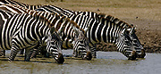 Plains Zebras (Equus burchelli) drinking from a waterhole in Sweetwaters, Kenya