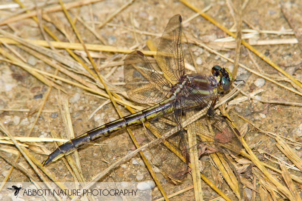 Dusky Clubtail (Phanogomphus spicatus) - female<br /> PENNSYLVANIA: Forest Co.<br /> Buzzard Swamp in Allegheny National Forest<br /> 15.June.2010<br /> J.C. Abbott #2439