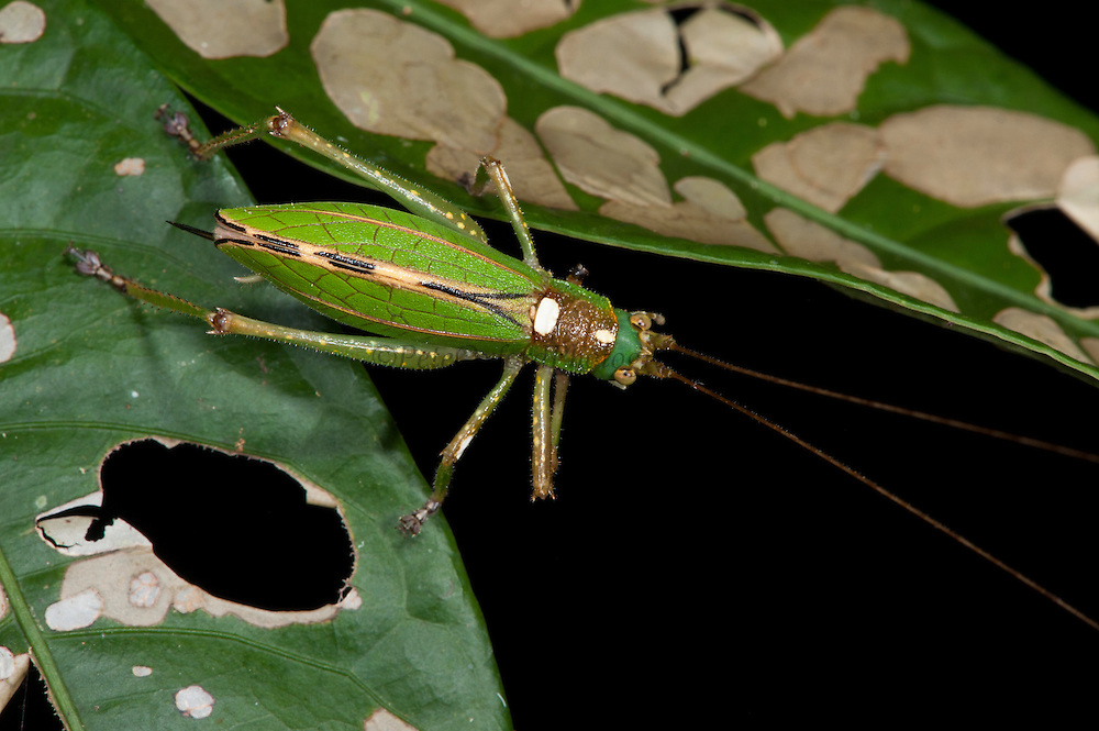 Katydid (Tettigoniidae)<br /> Yasuni National Park, Amazon Rainforest<br /> ECUADOR. South America