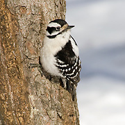 Female Downy Woodpecker (Picoides pubescens) in Central Park, NYC