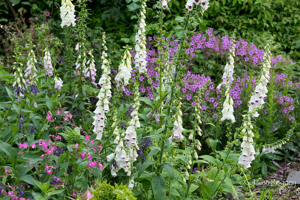 Digitalis 'Pam's Choice' a purple and white foxglove and Silene dioica (Red Campion) in Derry Watkin's Special Plants Garden in Cold Ashton, Chippenham, Somerset, UK