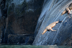 Steller sea lions jump into the Lynn Canal waters from the Gran Point haulout (second photo of three photo sequence). Steller sea lions often jump into water as a reaction to noise or movement.<br /> <br /> Among the concerns related to the proposed Juneau Access Improvements Project is the Steller sea lion haulout at Gran Point (pictured). The haulout at Gran Point is a designated Steller sea lion Critical Habitat Area. According to the Alaska Department of Transportation&rsquo;s 2014 Juneau Access Improvements Project: Draft Supplementary Environmental Impact Statement, more than one hundred Steller sea lions (Eumetopias jubatus) have been counted at the haulout during the spring and fall. As currently proposed the proposed highway would be built just uphill from the haulout area.<br /> <br /> Highway plans near the haulout includes blasting steep rock-cut embankments and several tunnels with one tunnel entrance only 550 feet away from the haulout. There is concern for haulout abandonment by the sea lions during highway construction as studies have shown Steller sea lions are very sensitive to noise, both in and out of water. Because Steller sea lions frequent Gran Point nearly year round, the use of explosives and helicopters will be challenging during construction.<br /> <br /> There are two distinct populations of Steller sea lions in Alaska. The majority of Stellar sea lions that frequent the Lynn Canal are part of the eastern population of Steller sea lions which are not listed as endangered under the Endangered Species Act; unlike the western population of Steller sea lions which are listed as endangered. That said however, there have been confirmed sightings of the western population Steller sea lions at Gran Point.<br /> <br /> The Juneau Access Improvements Project is a proposed $570-million highway project to extend Glacier Highway out of Juneau for closer road access to the southeast Alaska towns of Haines and Skagway. Juneau&rsquo;s roads do not connect with the continental road network.