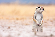 Portrait of a South African Ground Squirrel looking at the camera.  Deception Valley, Botswana 2008.
