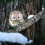 This is a species of flying squirrel called Ezo Momonga in Japanese (Pteromys volans orii). It is a sub-species of Siberian flying squirrels that is found on the island of Hokkaido in Japan. These squirrels are primarily nocturnal and usually shy, though the squirrels can occasionally be seen during the day. They prefer to take up residence in holes made by woodpeckers. Their diet primarily comprises leaves, seeds, cones, buds, sprouts, nuts and berries. This individual is nibbling on the soft parts of a Sakhalin fir tree (Abies sachalinensis), known as todomatsu in Japanese. This species does not hibernate.