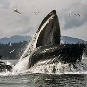 Humpback whales (Megaptera novaeangliae) cooperative feeding using a bubble net, I You Seen Cove, Chatham Strait, Southeast Alaska, USA.
