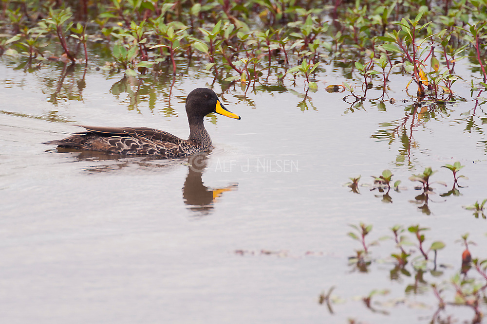 Yellow-billed duck (Anas undulata) from Sweetwaters, Kenya.