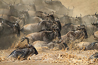 Trouble waters splash everywhere amidst the cloud of dust raised by the relenteless flow of thousands of wildebeests crossing Mara River towards Kenyan border. This is the Great Wildebeest Migration.