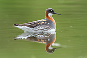 The Red-necked Phalarope, Phalaropus lobatus, is a small wader. This phalarope  breeds in the Arctic regions of North America and Eurasia. It is migratory, and, unusually for a wader, winters at sea on tropical oceans.