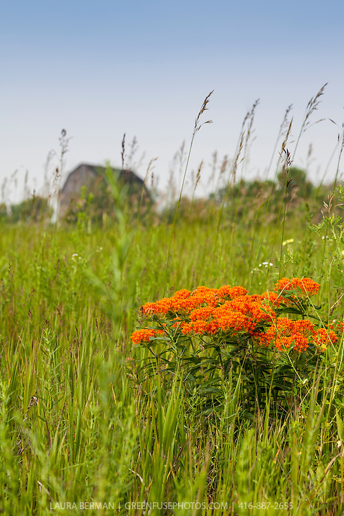 The bright orange flowers of Butterfly milkweed in a meadow with an old barn in the background.  (Asclepias tuberosa).