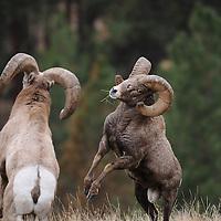 bighorn sheep rams head butting