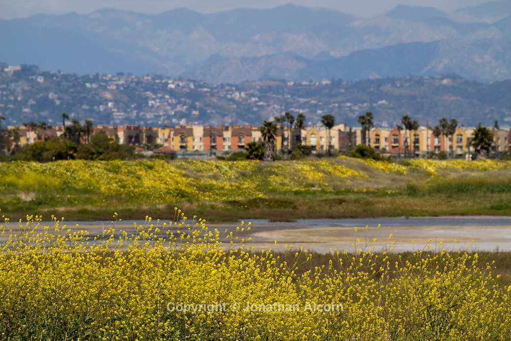 Wildflowers bloom in the  Ballona Wetlands in Playa Del Rey with Marina Del Rey and the Hollywood Hills in the background. One of the last natural spaces left in the Los Angeles and home to assortment of wildlife including migrating birds..