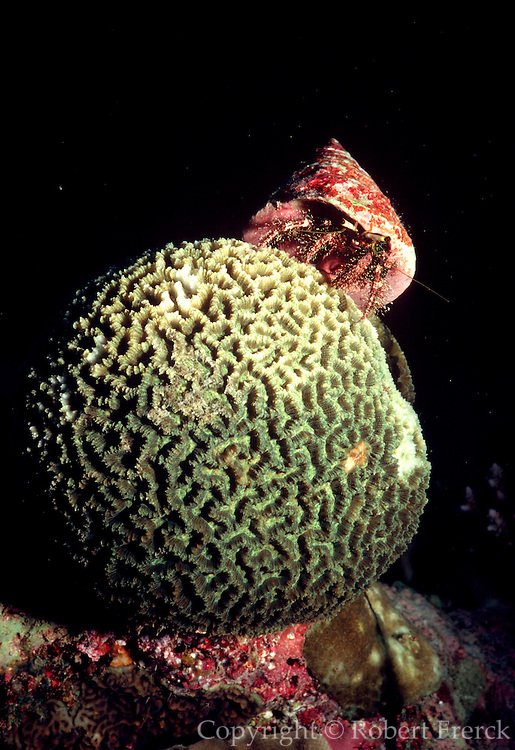 UNDERWATER MARINE LIFE WEST PACIFIC: Southwest CRABS: Hermit Crab, on Brain Coral Paguridae
