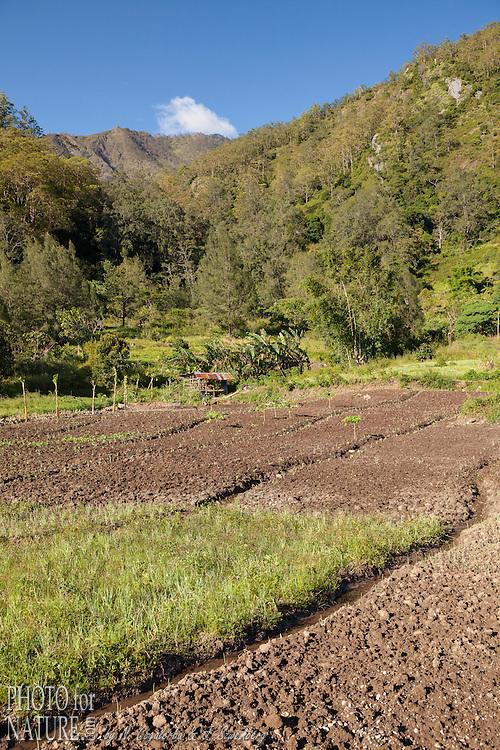 Indonésie, Petites îles de la Sonde Orientales, Timor Occidental, Nenas, champs près de la forêt // Indonesia, East Nusa Tenggara, West Timor, South Central Timor Regency, Nenas, Gunung Mutis Nature Reserve,  fields in the edge of the forest