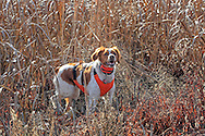Brittany Spaniel wearing a protective vest during a pheasant hunt in South Dakota