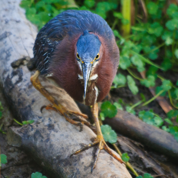 An adult green heron (Butorides virescens) fishes from a beaver lodge, Huntley Meadows Park, Alexandria, Virginia.