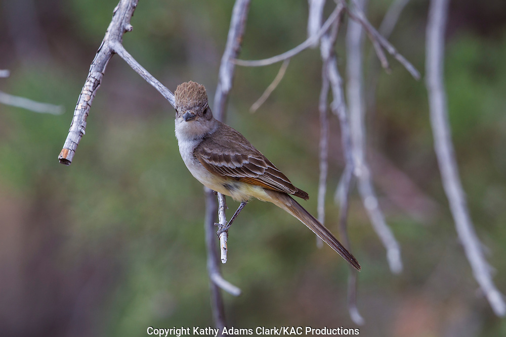 Ash-throated flycatcher; Myiarchus cinerascens; Sonoran Desert; Arizona; Southern; Summer