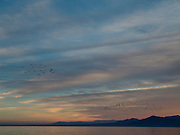 Flocks of birds flying in the evening sky. Salton Sea. USA.