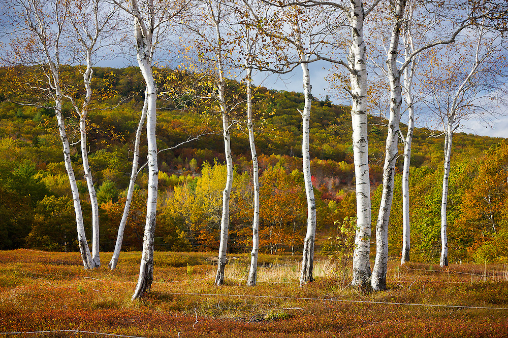 A stand of white birch trees grows in a blueberry barren on a hillside in Rockland, Maine.