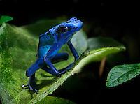 CObalt Blue Poison Dart Frog (Dendrobates azureus)