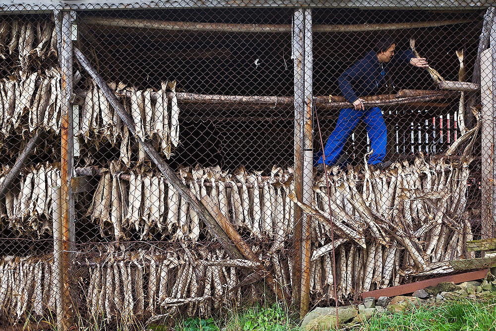 A young man pulls stockfish from drying racks in Å, Lofoten Islands, Norway.
