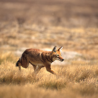 Ethiopian wolf hunting. Canis simensis. Bale mountains. Ethiopia
