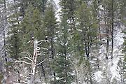 Bald Eagle, Bald Eagles, Eagle, Eagles, Haliaeetus leucocephalus, Salmon River, Winter, Salmon, Idaho