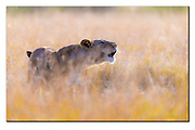 Liponess calling in the golden grass of Maasai Mara, Kenya. Nikon D5, 600mm, f4, Ev-0.33, 1/2000sec, ISO400, Aperture priority