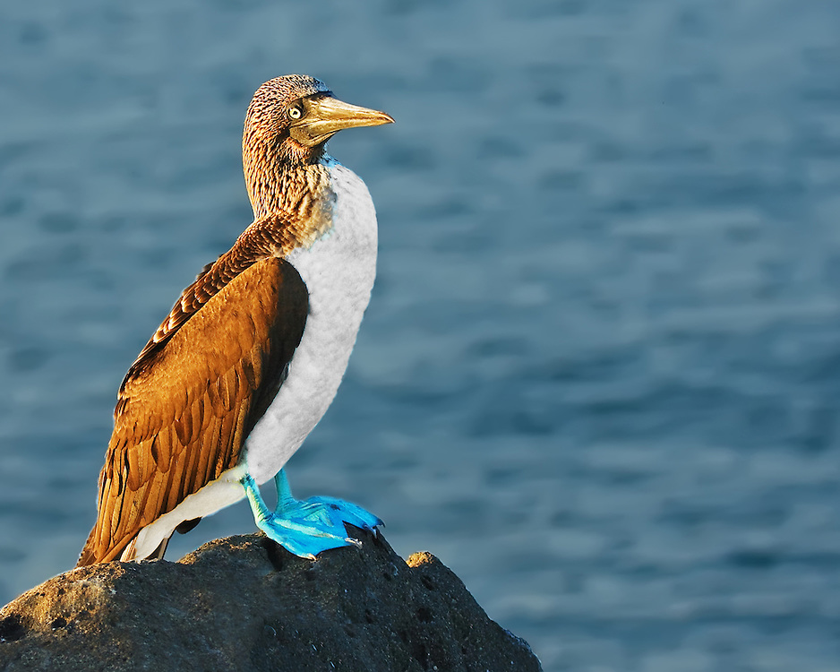 North Seymour Blue-footed Booby
