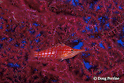 longnose hawkfish, Oxycirrhitus typus, on sea fan, or gorgonian coral, Tulamben Bay, Bali, Indonesia